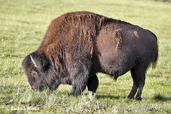 No começo da colonização o governo dos EUA decidiram exterminar todos os bisões a fim de se livrar dos indios que tinham nele, sua fonte de alimento, e etc.