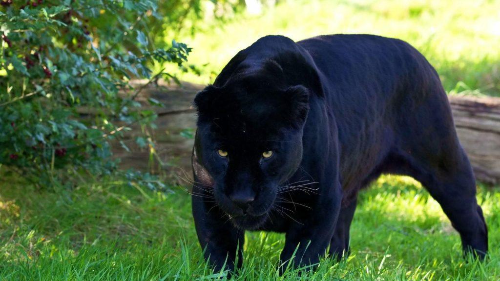 A pantera negra, é simbolo da energia feminina, ela tem leveza, graça, mas tambem ferocidade, agilidade, pessoas com ela como animal de poder precisam.