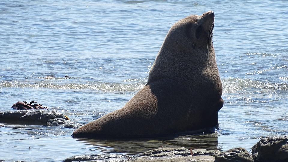 sea-lion-1053973_960_720