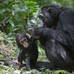 Chimpanzé ou macaco