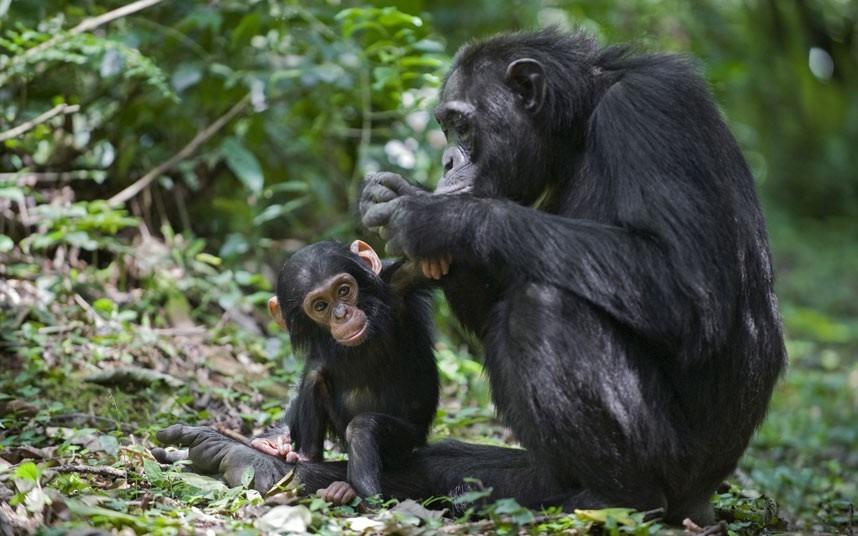 A medicina do chimpanzé inclui inteligência, compreensão da complexidade da sociedade, habilidades de linguagem, destreza, conexão com os espíritos da floresta, resolução de problemas, capacidade de equilibrar compaixão e agressão.