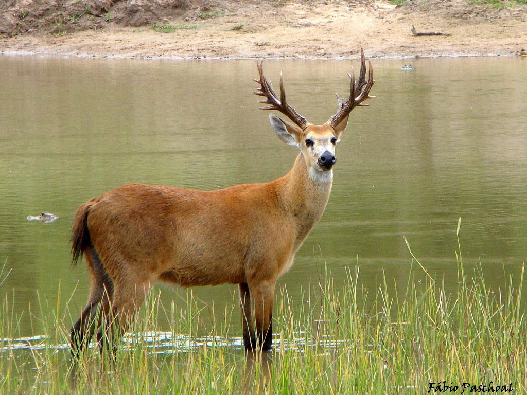 A medicina do Cervo inclui resistência, força, paixão sensual, respeitando pessoa do seu sexo, a capacidade de realizar varias tarefas, agilidade, nobreza.