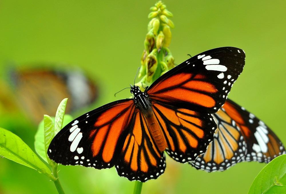 Os índios veem a borboleta como um símbolo da alegria. Alimentando-se das flores que ajudam a polinizar, elas espalham ainda mais beleza.