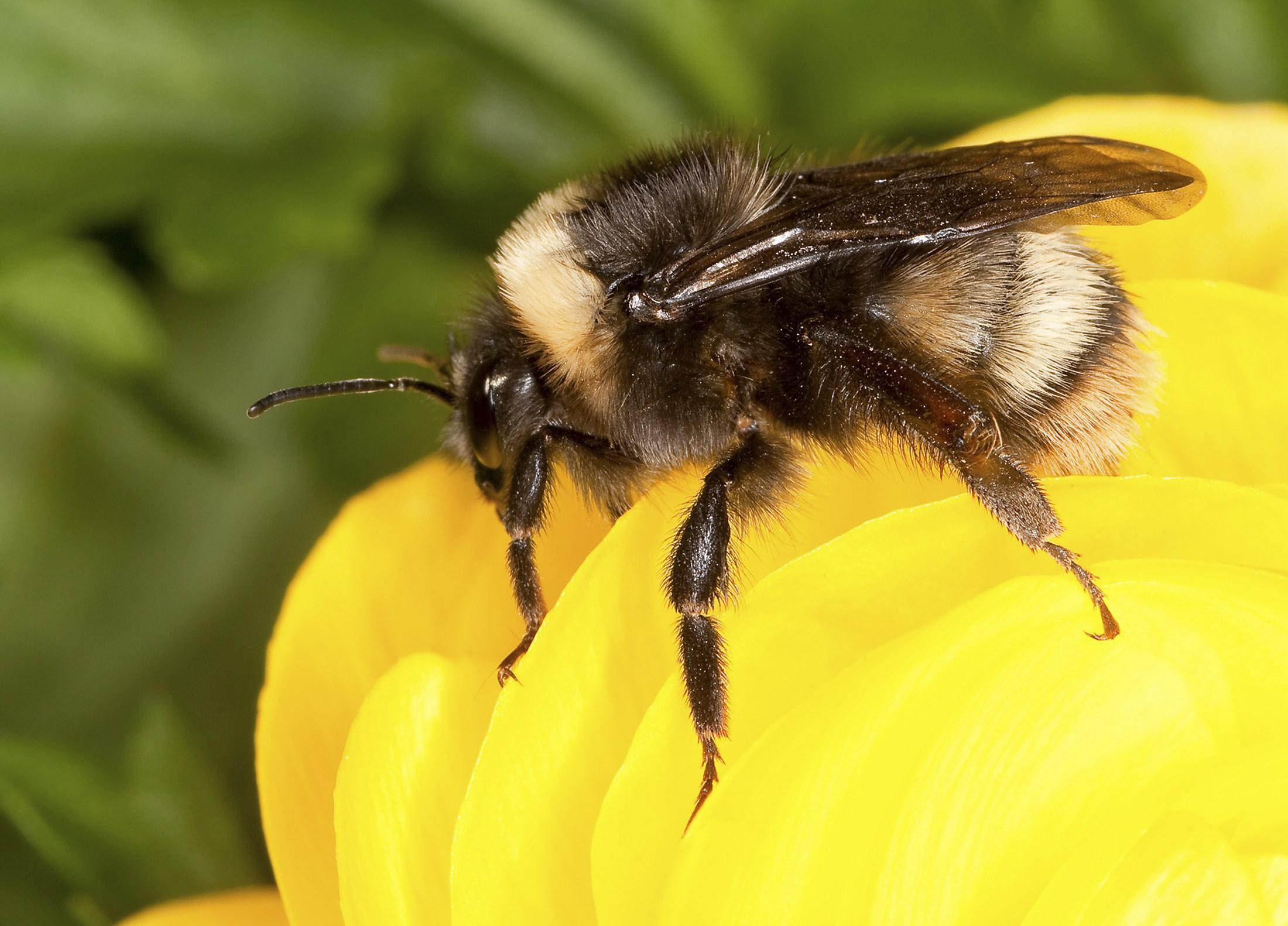 abelha mamangava viver natural