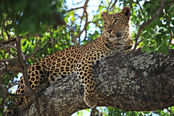 A medicina do Jaguar inclui ver as estradas dentro do caos e compreender seus padrões, a de mover-se sem medo na escuridão, em lugares desconhecidos, mudando de forma, da visão psíquica, facilitando o trabalho da alma, fortalecendo a si mesmo, recuperando o poder.