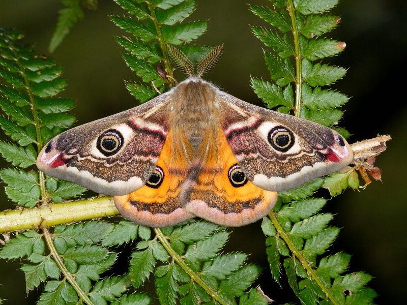 Os dons da mariposa incluem o poder do redemoinho, da facilidade de movimento na escuridão, da sombra, da transformação, da metamorfose, da capacidade de confundir inimigos e de encontrar luz na escuridão, de ouvir mensagens faladas e não ditas.