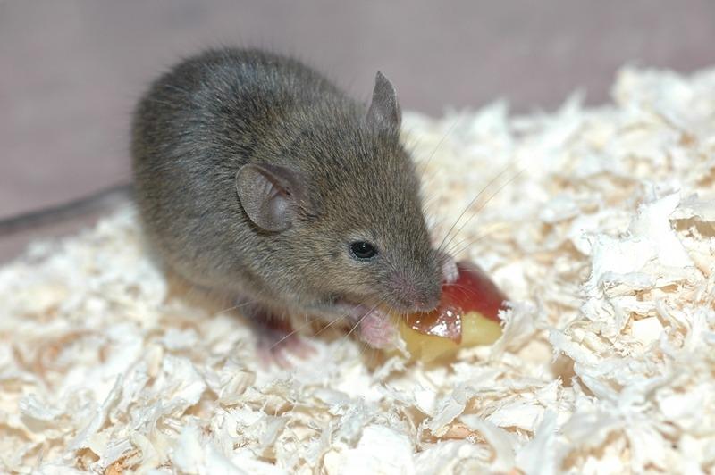 A sabedoria do rato inclui o escrutínio, a ordem, a organização, a análise das lições da vida, a timidez, o silêncio, a compreensão dos detalhes, a percepção de significados duplos nas coisas, a invisibilidade, o sigilo, a orientação na assinatura dos contratos, a descoberta e a capacidade de ser invisível