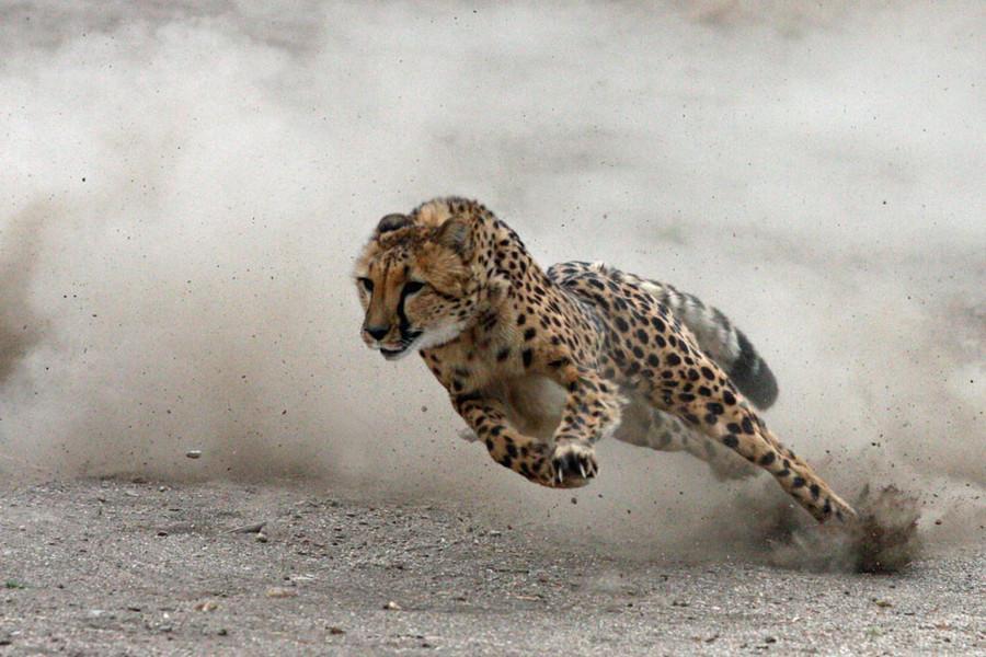 A medicina do Guepardo inclui velocidade e foco, fraternidade, exclusividade, capacidade de foco, atenção por curto período de tempo, rapidez, auto estima, tempo de aceleração, agudeza da vista.