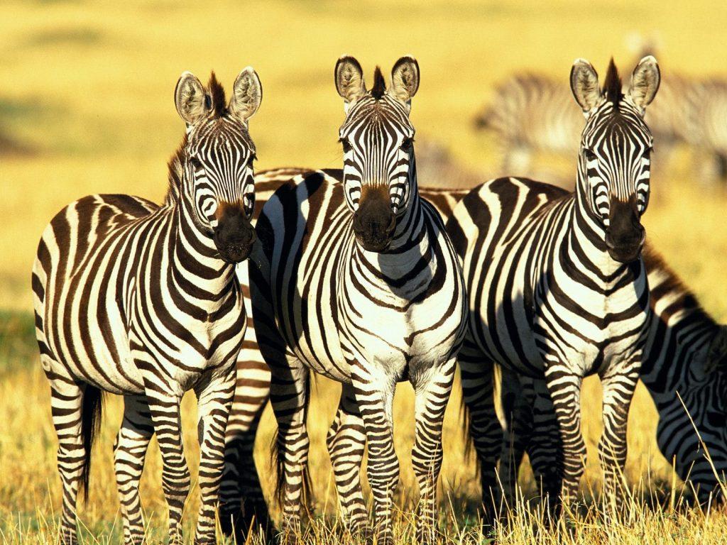 Os presentes da zebra incluem ver sem filtros, a clareza, o equilíbrio, a agilidade, a unicidade, poder, certeza do caminho a seguir, manutenção da individualidade dentro do grupo.