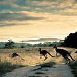Canguru animal de poder símbolo de equilíbrio e força