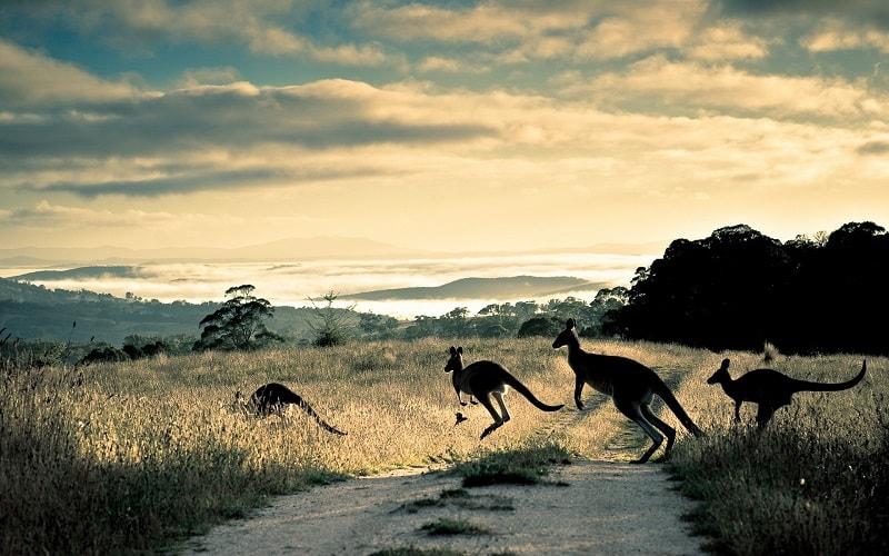 A medicina do canguru inclui a capacidade de escapar de más situações, de tornar o ambiente do lar seguro, a proteção dos jovens, a habilidade de se adapatar a novas situações, força, equilíbrio e vigor.
