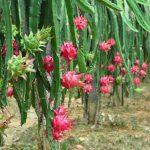 7 maravilhosos benefícios da fruta dragão ou Pitaya
