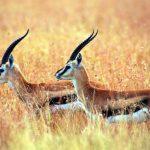 Gazela animal de poder símbolo do conhecimento, velocidade e graça
