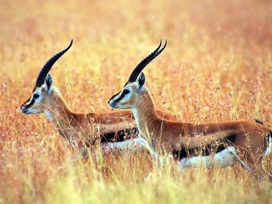 A sabedoria da gazela inclui o conhecimento, a velocidade e agilidade, a graça, beleza, habilidade de manobra e o movimento vertical.
