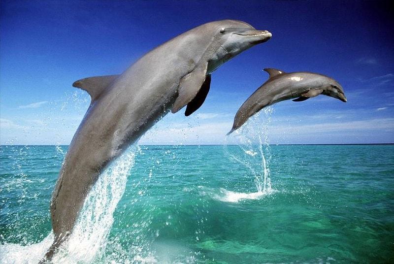 O golfinho nos ensina que quando estamos sincronizados com os padrões e ritmo da natureza, aprendemos como realmente estabelecer uma comunicação com ela, ressonando e comunicando com o Tudo Que É e como compartilhar essa sagacidade com qualquer um que demonstre interesse.