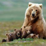 Urso, animal de poder símbolo de força