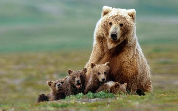 Urso, animal de poder símbolo de força, introspecção, conhecimento, sonhos e transformação.