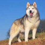 Cachorro, animal de poder símbolo de lealdade