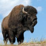 Bisão, animal de poder símbolo de abundância (parte 2)