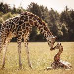 Girafa, animal de poder símbolo de visão realista e sagacidade