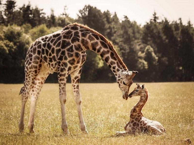 girafa totem