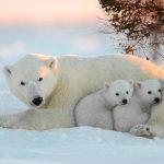 Urso Polar, animal símbolo de pureza