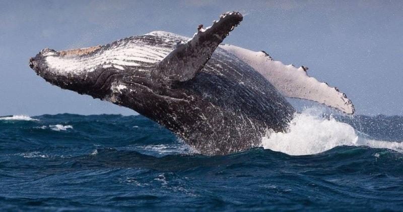 O espírito animal da baleia é o guardião dos registros do tempo da Terra. Como um totem, ela nos ensina a ouvir nossas vozes interiores, entender o impacto que as emoções causam na vida cotidiana e a seguir sua própria verdade.