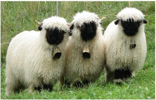 No reino dos animais espirituais -quer seja nos sonhos ou na realidade física-, quando se encontra uma ovelha, ela geralmente representa uma forma inocente e infantil de si mesmo.
