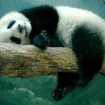 Espírito animal Panda