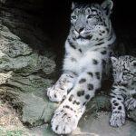 Leopardo das Neves: o mestre supremo da intuição