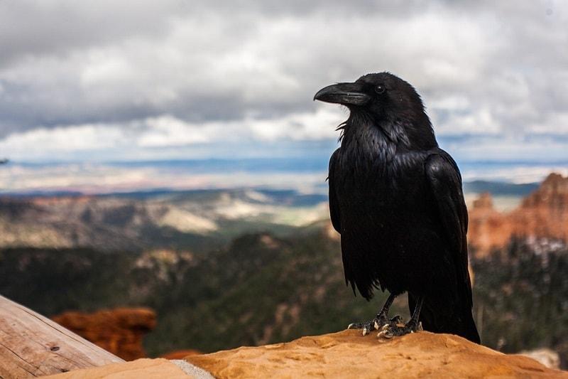 O Corvo é um anima espiritual associado aos mistérios da vida e à mágica. O poder desse pássaro como totem e espírito guia é prover entendimento e meios de incentivar intenções.