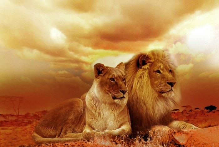 leão luta