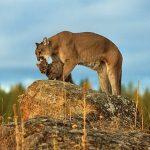 Significados simbólicos do Puma: o mestre dos cânions