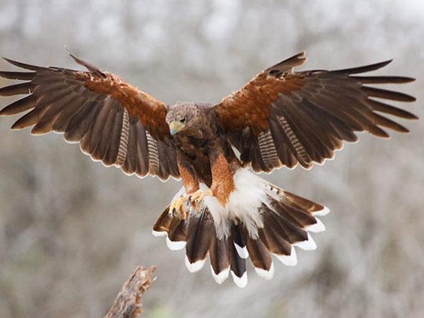 Ver um ave de rapina em seu sonho é um lembrete para que permaneça focado em seus objetivos e aspirações. Alternativamente, esse pássaro pode simbolizar liberdade pessoal.