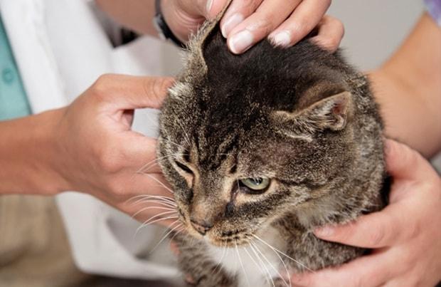 Ainda que a otite se manifeste como uma das doenças mais comuns em animais domésticos, muitas pessoas não têm conhecimento de que esse mal afeta os bichinhos.