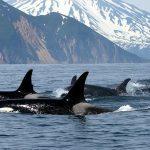 Animal Espiritual Orca