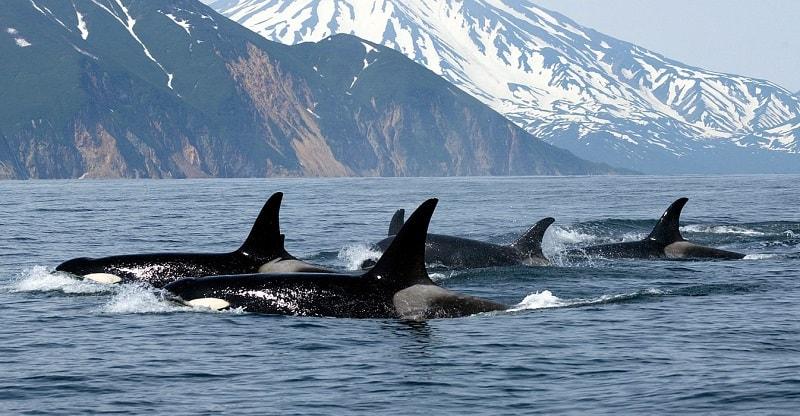 Ver um orca em sonhos indica a necessidade de ser mais social ou mais vocal sobre algo. Dê um passo à frente e fale. Alternativamente, o sonho simboliza orientação espiritual.