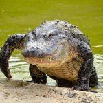 Animal Espiritual Crocodilo