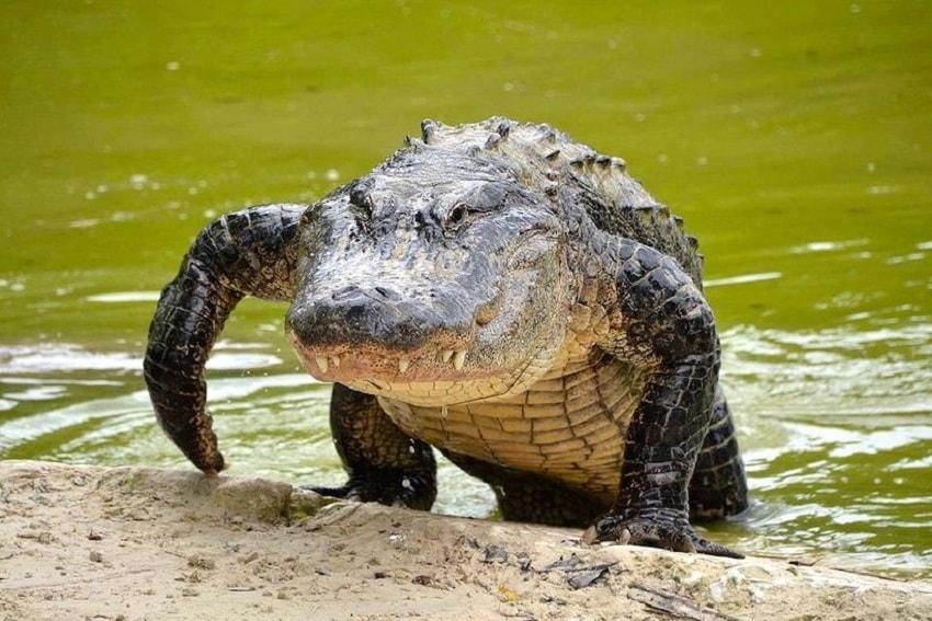 Se o Crocodilo atravessou sua trilha... Procure por uma oportunidade de ingerir novos conhecimentos e sabedoria. Esse é um ótimo animal totem.