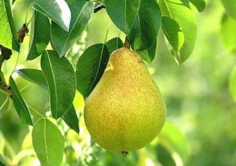 As peras são valiosos frutos que têm sido amplamente utilizados no mundo inteiro e prezados por seu delicioso sabor desde os tempos antigos.