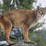 Animal Espiritual Leão da Montanha