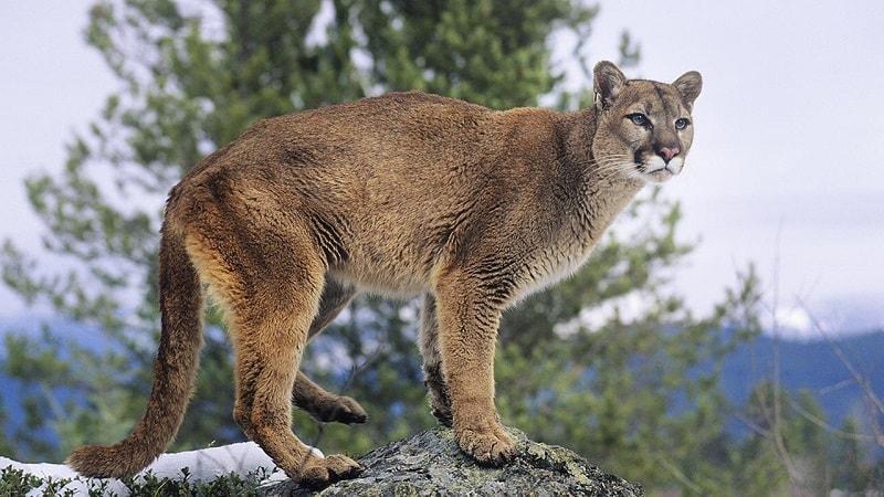 Se o Leão da Montanha entrou em sua vida, tome isso como um sinal de que você entrou em seu próprio poder. É hora de tomar as rédeas da situação e ser forte