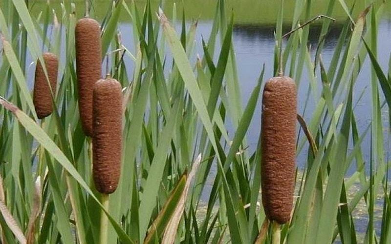 O que é taboa... Embora você provavelmente tenha visto taboas crescendo nas margens de lagos e pântanos,nunca se imaginou como ela é benéfica
