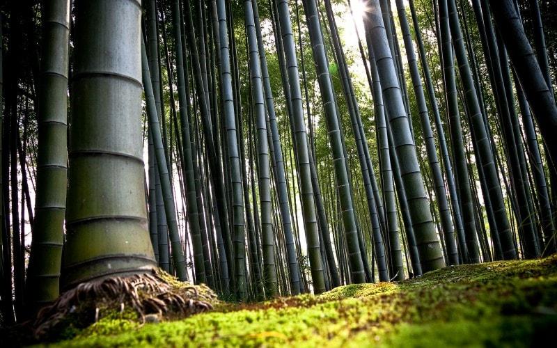 Não é de se admirar que através dos séculos o bambu tenha se tornado um símbolo de vitalidade, fortaleza e sucesso. A planta realmente demonstra qualidades incríveis