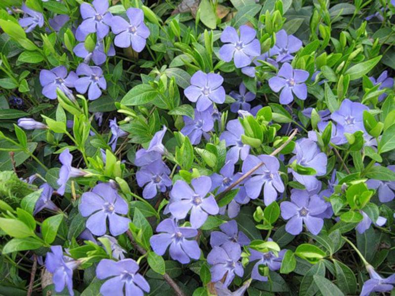 Pervinca é um pequeno arbusto coberto com lindíssimas flores de cor azul-violeta. Apesar do apelo visual, os nomes folclóricos dessa planta causam alvoroço