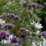 Verbena: significado mágico da flor