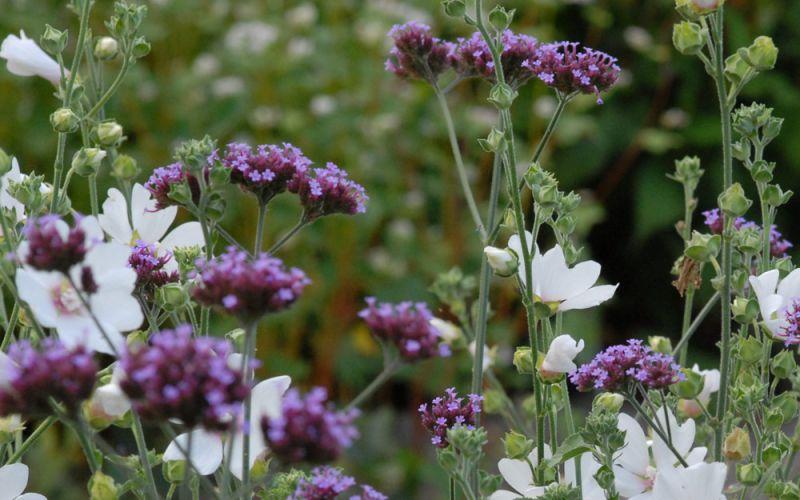 Verbena é uma planta bastante simples, generalizada e despretensiosa. Na maioria das vezes é usada para jardinagem decorativa ou como um favo de mel