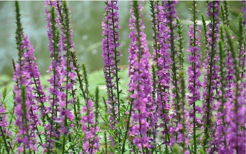 A planta Lythrum consegue sobreviver em todo o mundo, em diferentes zonas climáticas. Não é encontrado apenas em desertos e lugares pouco habitados