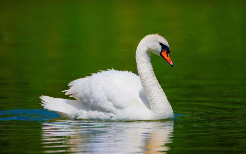 Se o Cisne atravessou sua trilha...o simbolismo do Cisne anuncia o desenvolvimento de habilidades intuitivas e alterados estados de percepção.