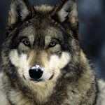 Animal Espiritual Lobo
